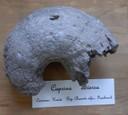 "Esemplare fossile di Caprina adversa del Cretacico, proveniente dal Dip. di Charente inf. in Francia e conservato nel Goldfuß-Museum Institut für Geowissenschaften a Bonn (nr. di inventario: IGPB-L-7036, foto Sebastian Geominy).  (<a class=""download"" href=""https://www.geowissenschaften.uni-bonn.de/de/geopublic/italienisch/geominy/fossile/Echte_Kaprina.JPG/at_download/image"">Download</a>)"